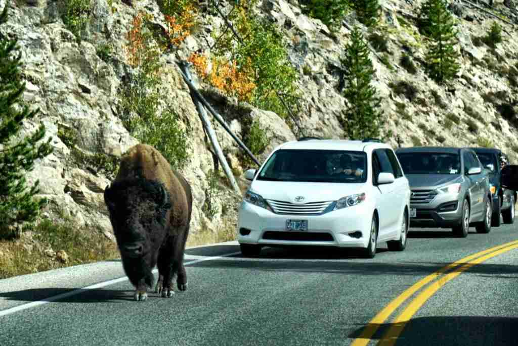 Bison in the road at Yellowstone